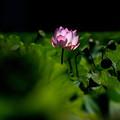 写真: 蓮花一輪