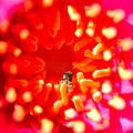 写真: 睡蓮とミツバチ