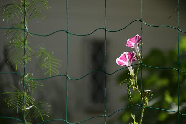 Photos: 夕方の朝顔