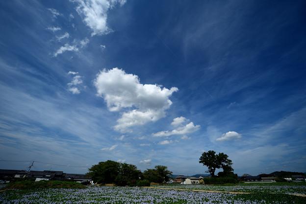 青空と白い雲とホテイアオイ