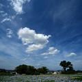写真: 青空と白い雲とホテイアオイ