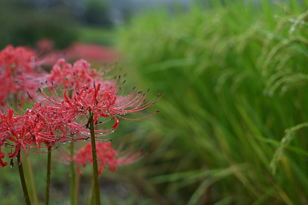 雨に咲く彼岸花