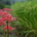 写真: 雨に咲く彼岸花