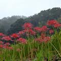 写真: 明日香:稲渕棚田の彼岸花