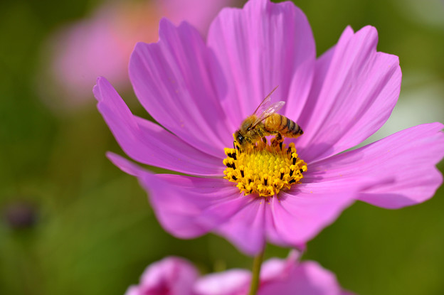 秋桜と蜜蜂