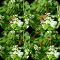 Photos: イチモンジセセリを狙うスズメバチ