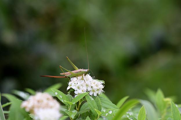 オナガササキリ(♀)