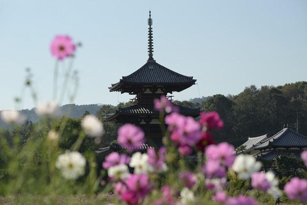 法起寺三重の塔とコスモス