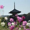 写真: 法起寺三重の塔とコスモス
