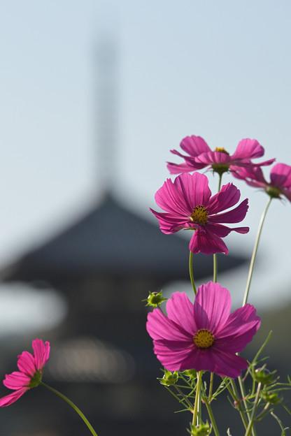 写真: 塔と秋桜(1)