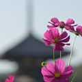 Photos: 塔と秋桜(1)