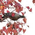 写真: 紅葉のナンキンハゼとキジバト