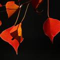 写真: ナンキンハゼの紅葉