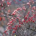 写真: 花水木の実 輝く・・・