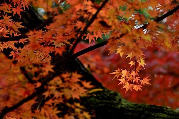 Photos: 紅葉の老モミジ