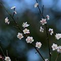 写真: 早くも梅が満開に!