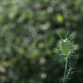Photos: ニゲラの実:玉ツゲの玉ボケバックで