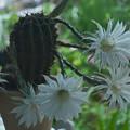 サボテン:花盛丸の花(一夜明けて…)