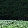 Photos: 奈良県宇陀郡:岡田の谷の半夏生