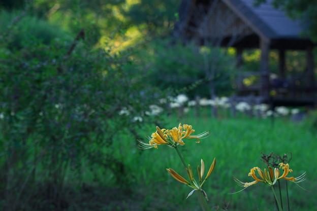 黄花ヒガンバナ