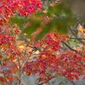 紅葉とエナガ