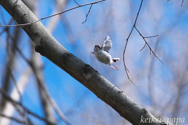 エナガ(幼鳥)