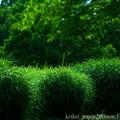 パンパスグラスの緑