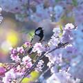 シジュウカラ:桜に囲まれて