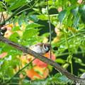 Photos: スズメ:ノウゼンカズラの枝で・・・