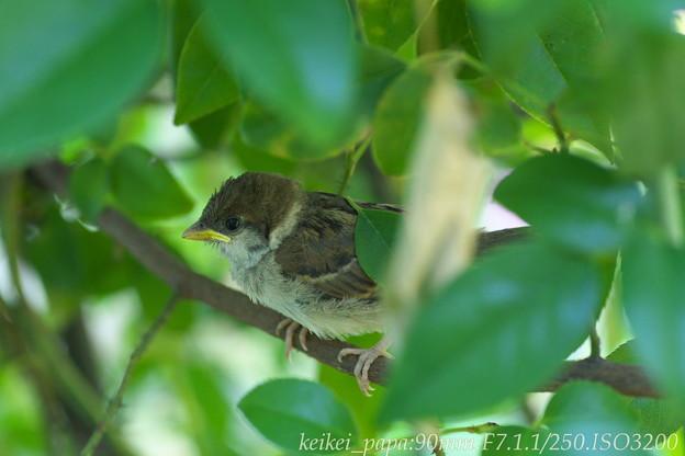 スズメ:巣立った幼鳥が隠れています