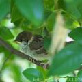 Photos: スズメ:巣立った幼鳥が隠れています