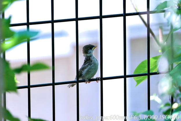 スズメ:幼鳥がフェンスで・・・