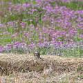 Photos: ツグミ:レンゲ畑をバックに・・・