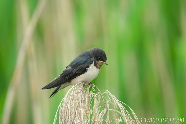 Photos: ツバメ:巣立ちショット(幼鳥)