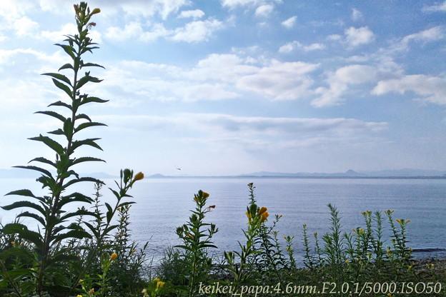 琵琶湖とマツヨイグサ(スマホ撮り)