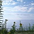 Photos: 琵琶湖とマツヨイグサ(スマホ撮り)