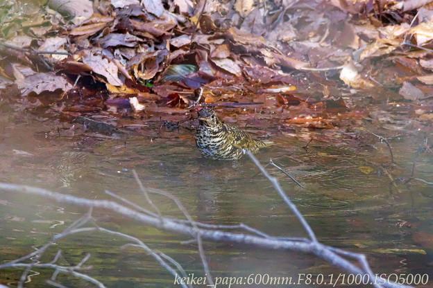 トラツグミ:水に浸かって・・・