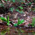 トラツグミ:水芭蕉の傍で・・・