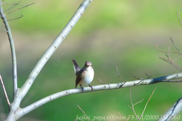 ニシオジロビタキ:尾羽をピイ~ンと