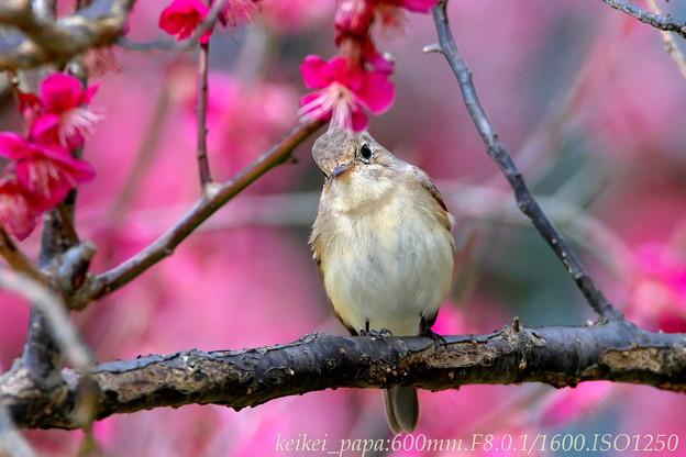 ニシオジロビタキ:紅梅の枝で・・・
