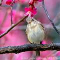 Photos: ニシオジロビタキ:紅梅の枝で・・・