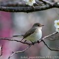 Photos: ニシオジロビタキ:白梅の枝で・・・