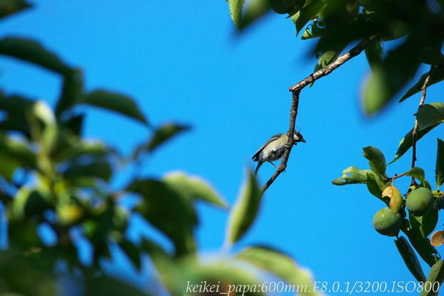 夏のシジュウカラ幼鳥