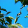 Photos: 夏のシジュウカラ幼鳥