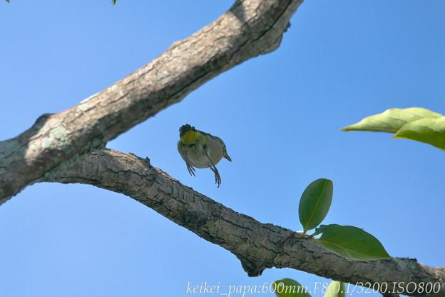 夏のメジロ:枝の上でチョイジャンプ
