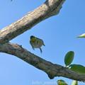 Photos: 夏のメジロ:枝の上でチョイジャンプ