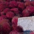 Photos: コキアと石のオブジェ