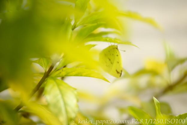 レモン色の葉っぱとモンキチョウ