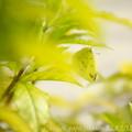 Photos: レモン色の葉っぱとモンキチョウ