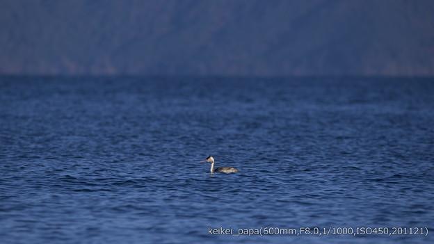 Photos: 湖西のカンムリカイツブリ